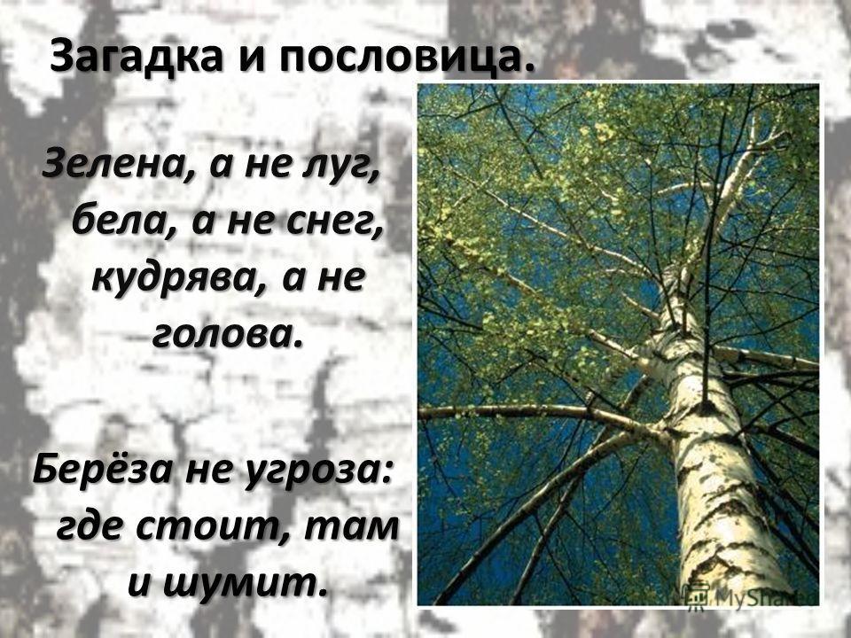 Загадка и пословица. Зелена, а не луг, бела, а не снег, кудрява, а не голова. Берёза не угроза: где стоит, там и шумит.