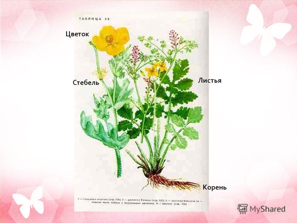 Цветок Стебель Листья Корень