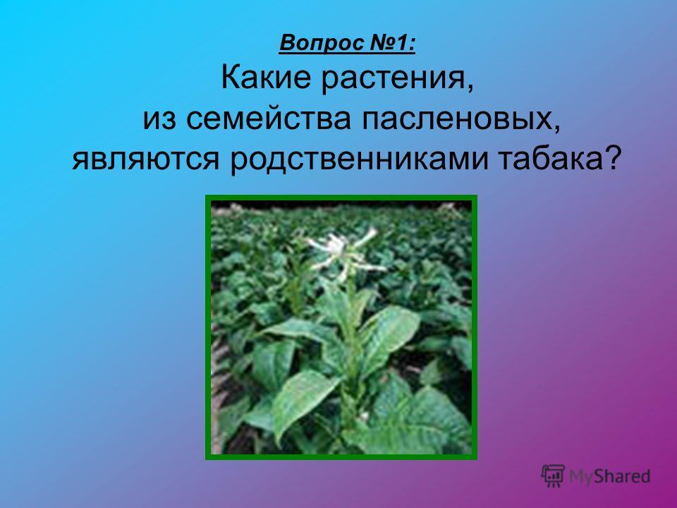 Вопрос 1: Какие растения, из семейства пасленовых, являются родственниками табака?