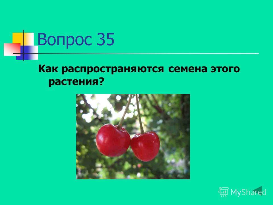 Вопрос 35 Как распространяются семена этого растения?