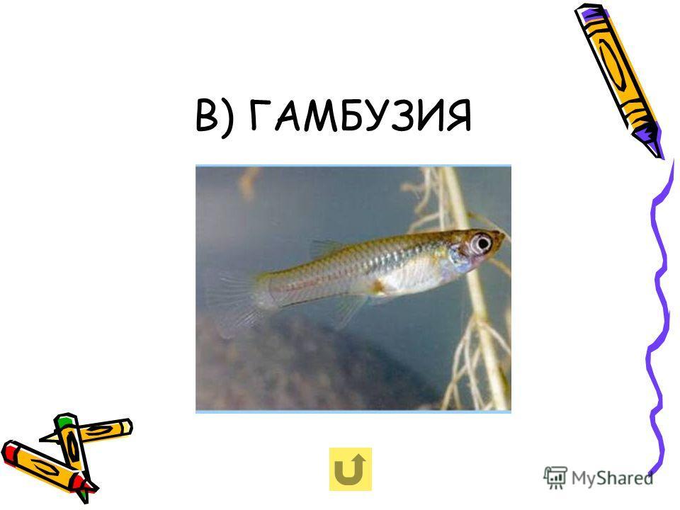 В) ГАМБУЗИЯ
