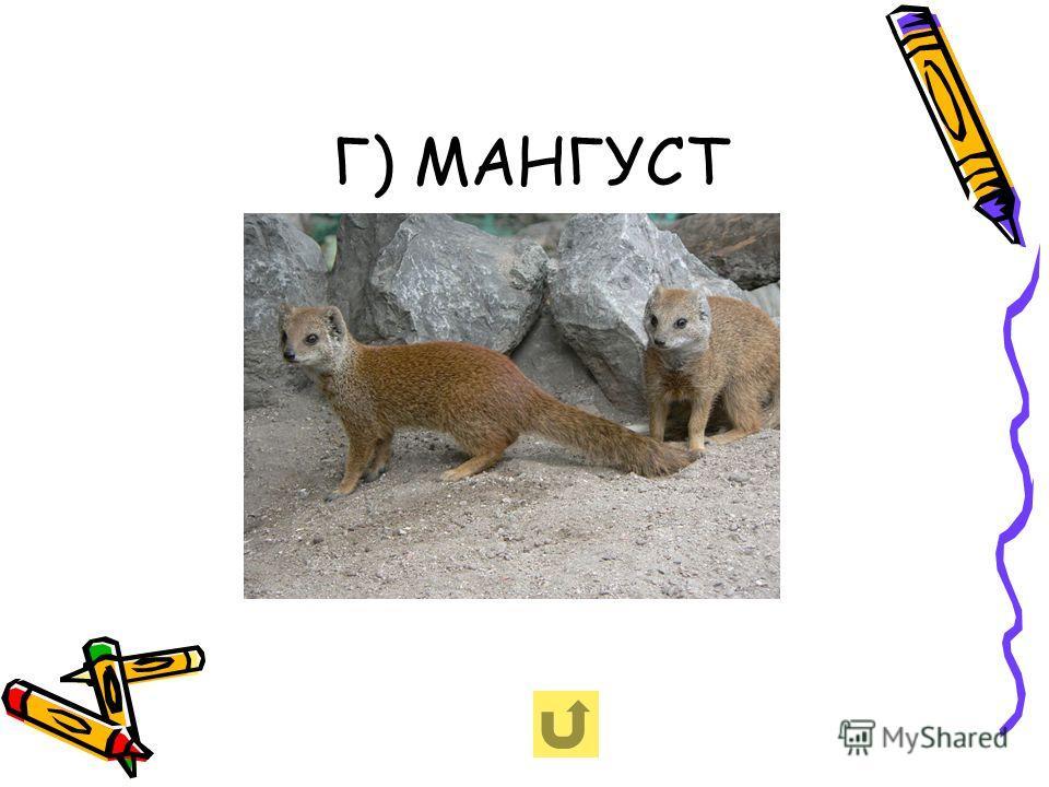 Г) МАНГУСТ