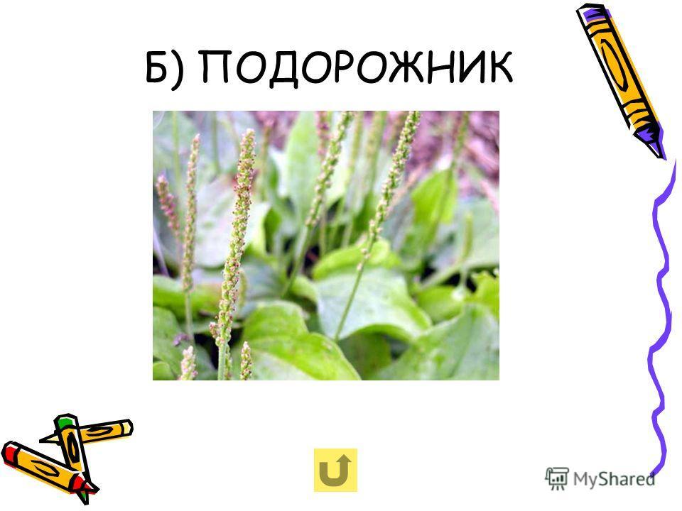 Б) ПОДОРОЖНИК