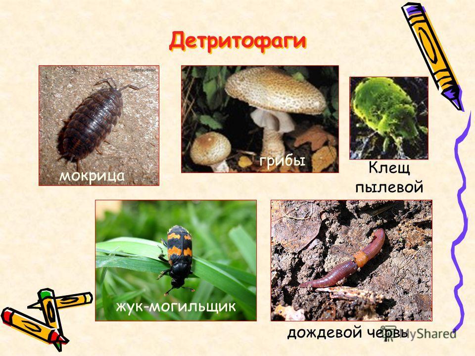 Детритофаги мокрица грибы Клещ пылевой жук-могильщик дождевой червь