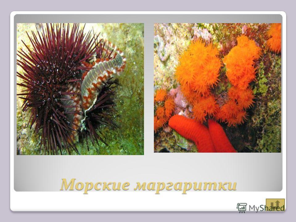 Морские маргаритки