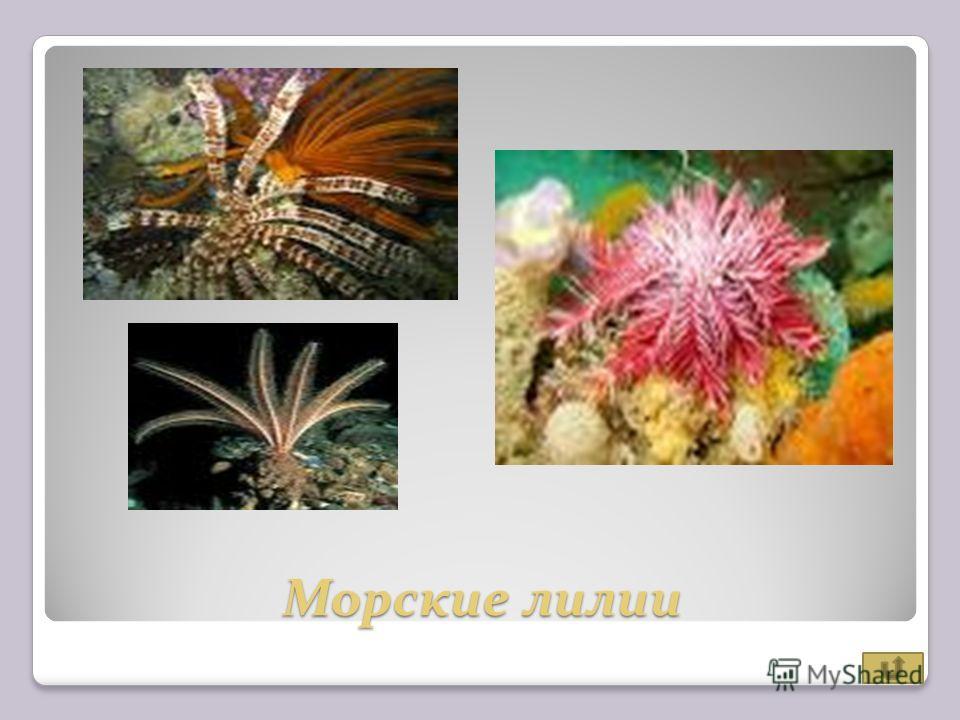 Морские лилии