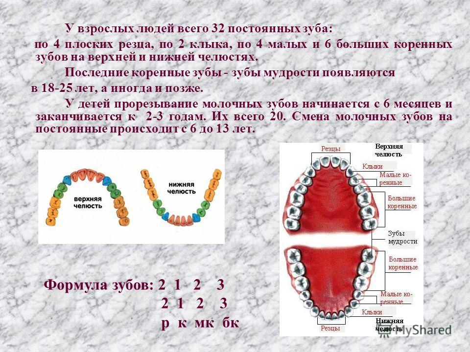 У взрослых людей всего 32 постоянных зуба: по 4 плоских резца, по 2 клыка, по 4 малых и 6 больших коренных зубов на верхней и нижней челюстях. Последние коренные зубы - зубы мудрости появляются в 18-25 лет, а иногда и позже. У детей прорезывание моло