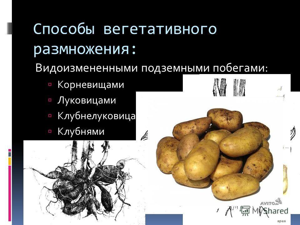 Способы вегетативного размножения: Видоизмененными подземными побегами: Корневищами Луковицами Клубнелуковицами Клубнями