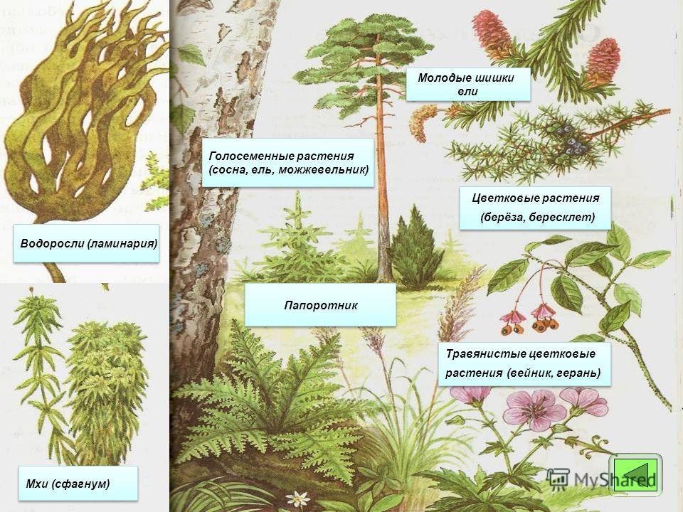 Травянистые цветковые растения (вейник, герань) Травянистые цветковые растения (вейник, герань) Цветковые растения (берёза, бересклет) Цветковые растения (берёза, бересклет) Голосеменные растения (сосна, ель, можжевельник) Голосеменные растения (сосн