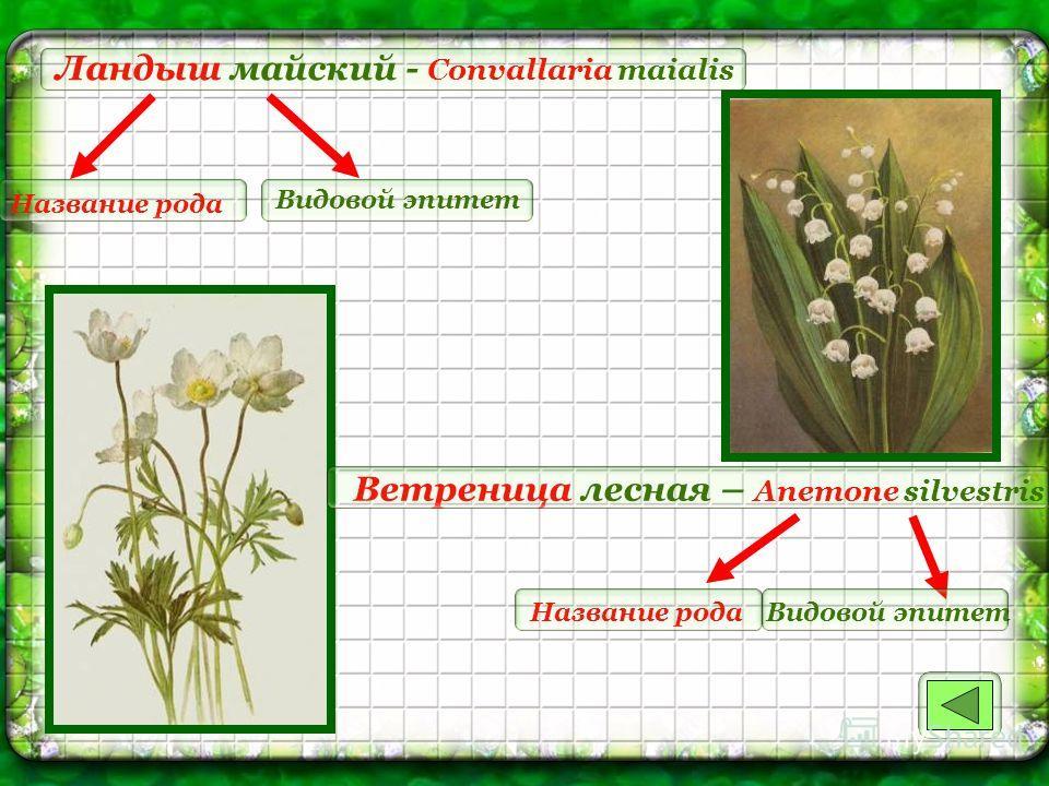Ландыш майский - Convallaria maialis Название рода Видовой эпитет Ветреница лесная – Anemone silvestris Название родаВидовой эпитет