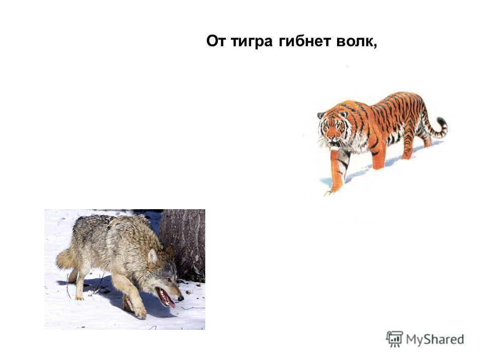 От тигра гибнет волк,