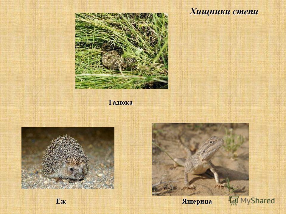 Хищники степи Гадюка ЁжЯщерица