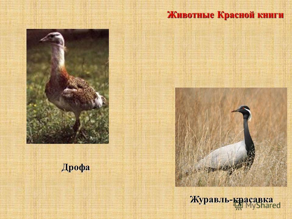 Животные Красной книги Дрофа Журавль-красавка