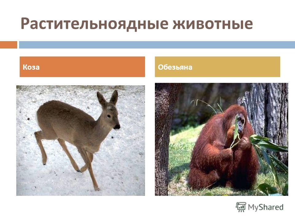 Растительноядные животные КозаОбезьяна