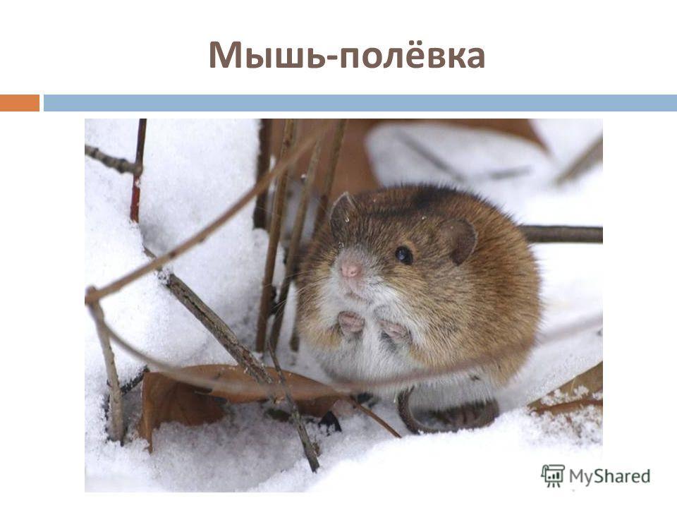 Мышь - полёвка