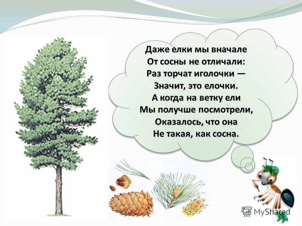 Даже елки мы вначале От сосны не отличали: Раз торчат иголочки Значит, это елочки. А когда на ветку ели Мы получше посмотрели, Оказалось, что она Не такая, как сосна.