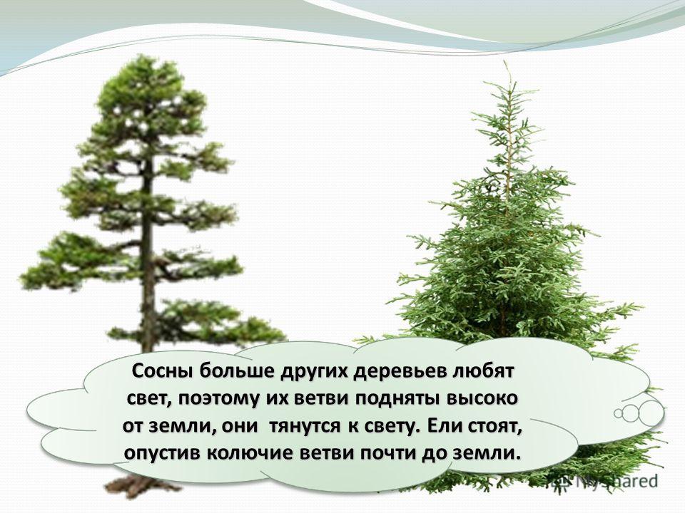 Сосны больше других деревьев любят свет, поэтому их ветви подняты высоко от земли, они тянутся к свету. Ели стоят, опустив колючие ветви почти до земли.