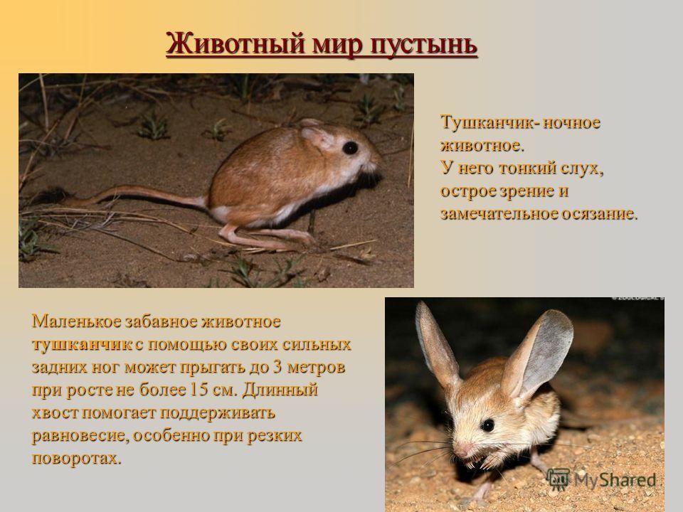 Животный мир пустынь маленькая лисичка корсак маленькая лисичка корсак В пустыне встречаются ушастый еж В пустыне встречаются ушастый еж