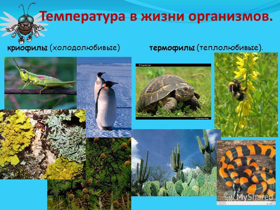 Температура в жизни организмов. криофилы (холодолюбивые) термофилы (теплолюбивые).