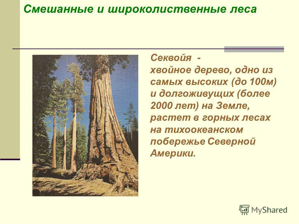 Секвойя - хвойное дерево, одно из самых высоких (до 100м) и долгоживущих (более 2000 лет) на Земле, растет в горных лесах на тихоокеанском побережье Северной Америки.