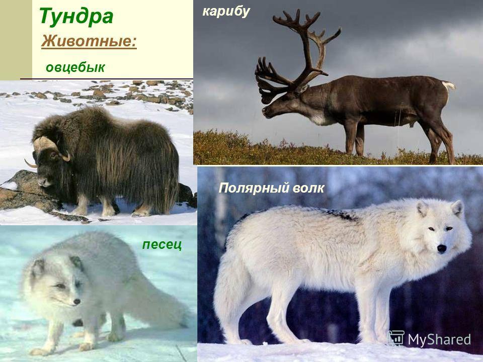 Тундра Животные: карибу Полярный волк овцебык песец