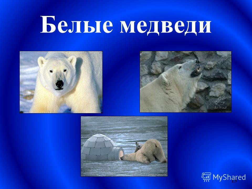 Белые медведи 13
