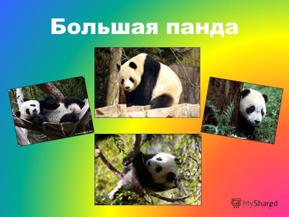 Большая панда 7
