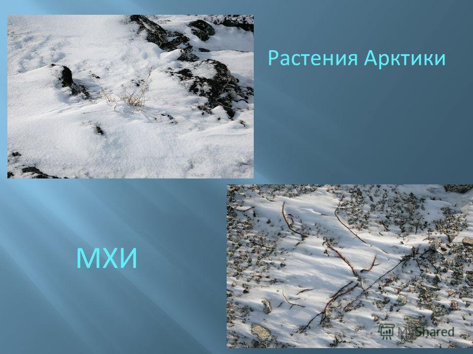 Растения Арктики МХИ