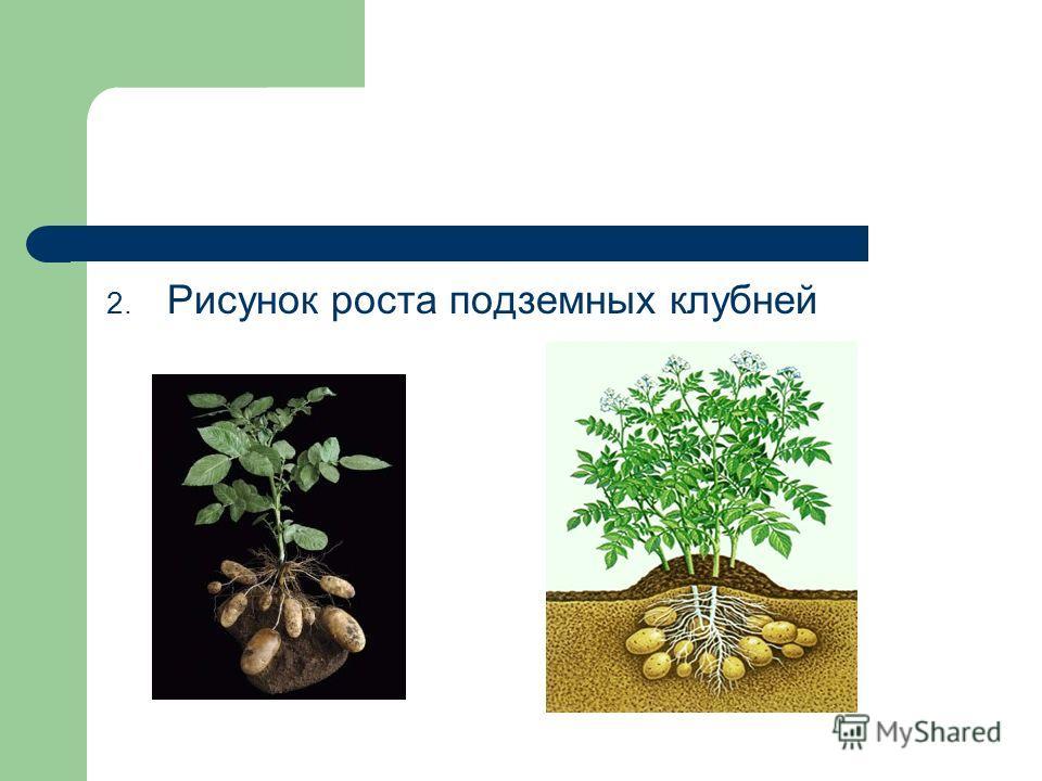 2. Рисунок роста подземных клубней