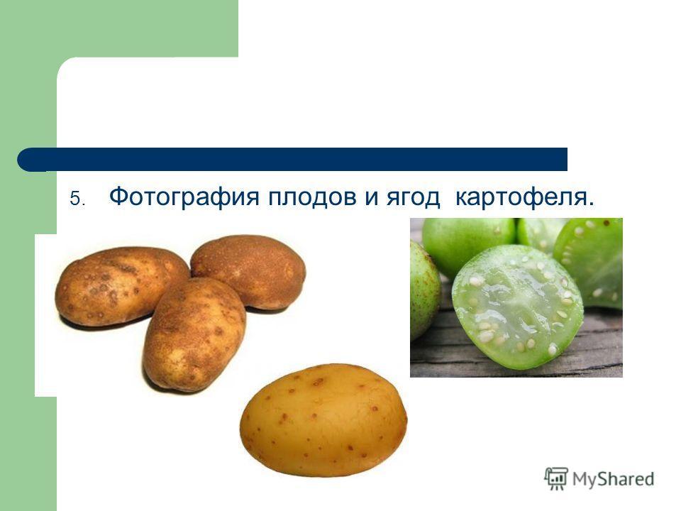 5. Фотография плодов и ягод картофеля.