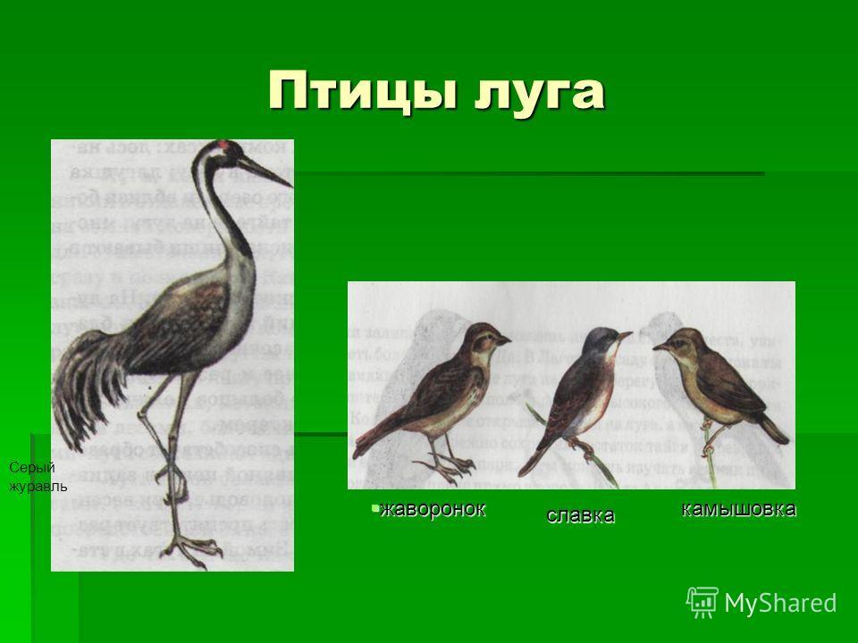 Птицы луга жаворонок жаворонок славка камышовка Серый журавль