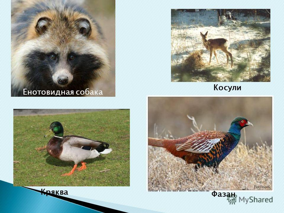 Енотовидная собака Косули Кряква Фазан