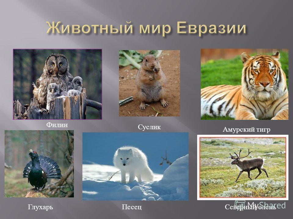 Северный олень Песец Амурский тигр Глухарь Суслик Филин