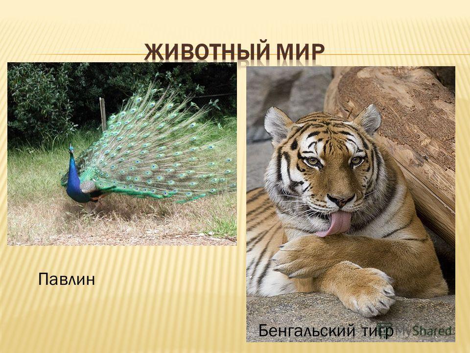 Павлин Бенгальский тигр