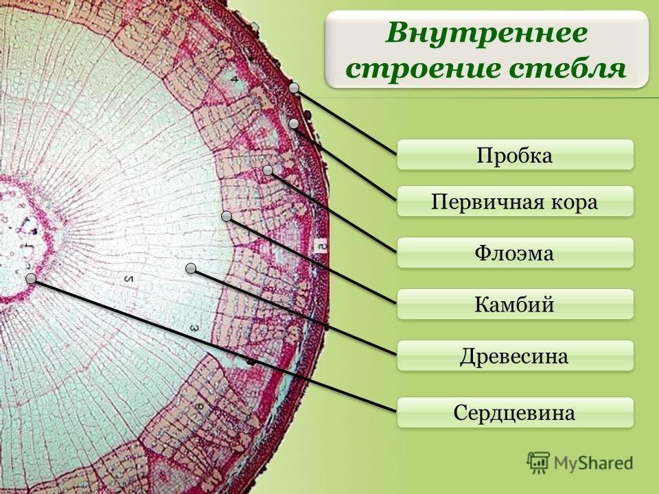 Первичная кора Флоэма Камбий Древесина Пробка Сердцевина Внутреннее строение стебля