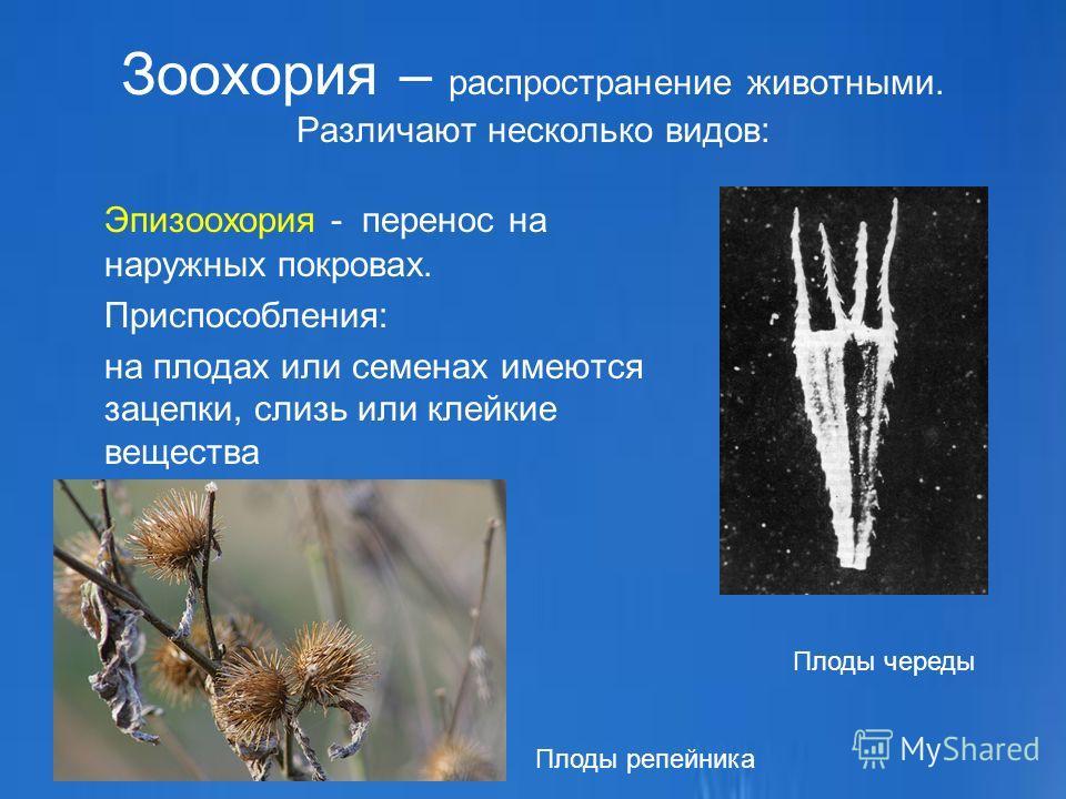 Зоохория – распространение животными. Различают несколько видов: Эпизоохория - перенос на наружных покровах. Приспособления: на плодах или семенах имеются зацепки, слизь или клейкие вещества Плоды череды Плоды репейника
