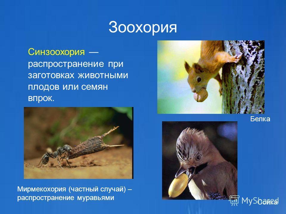 Зоохория Синзоохория распространение при заготовках животными плодов или семян впрок. Мирмекохория (частный случай) – распространение муравьями Белка Сойка