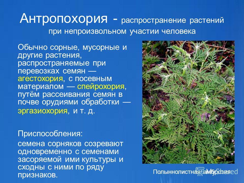 Антропохория - распространение растений при непроизвольном участии человека Обычно сорные, мусорные и другие растения, распространяемые при перевозках семян агестохория, с посевным материалом спейрохория, путём рассеивания семян в почве орудиями обра