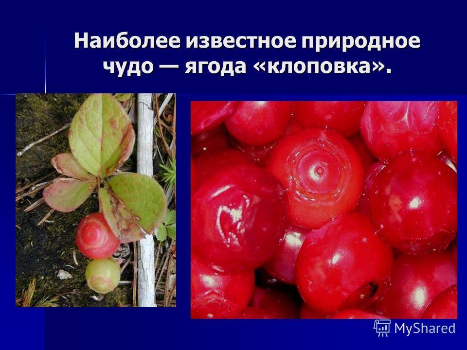 Наиболее известное природное чудо ягода «клоповка».