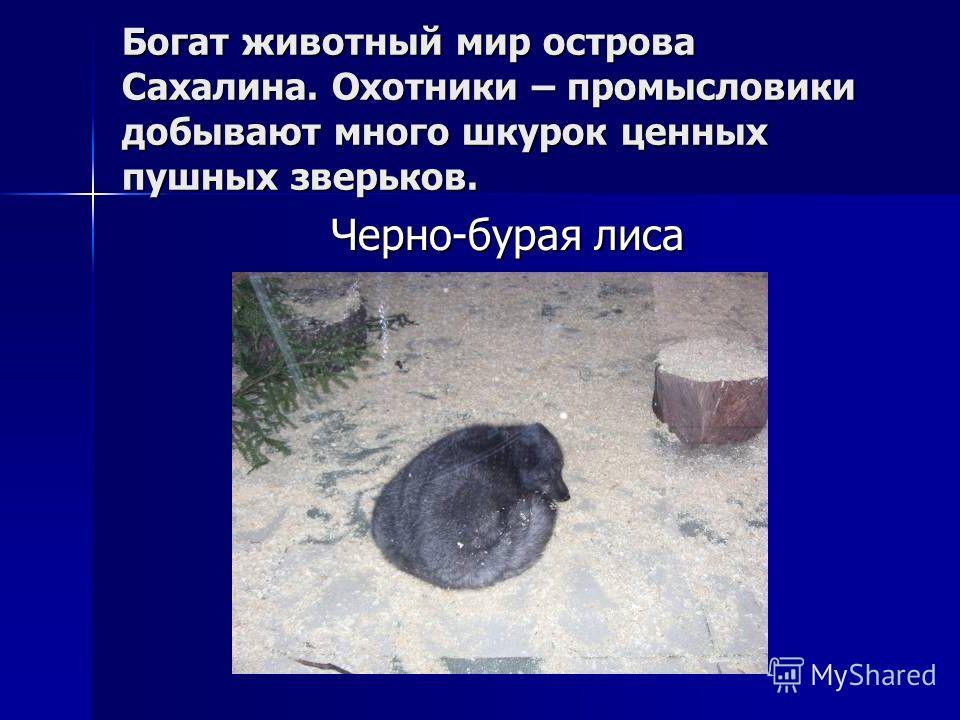 Богат животный мир острова Сахалина. Охотники – промысловики добывают много шкурок ценных пушных зверьков. Черно-бурая лиса