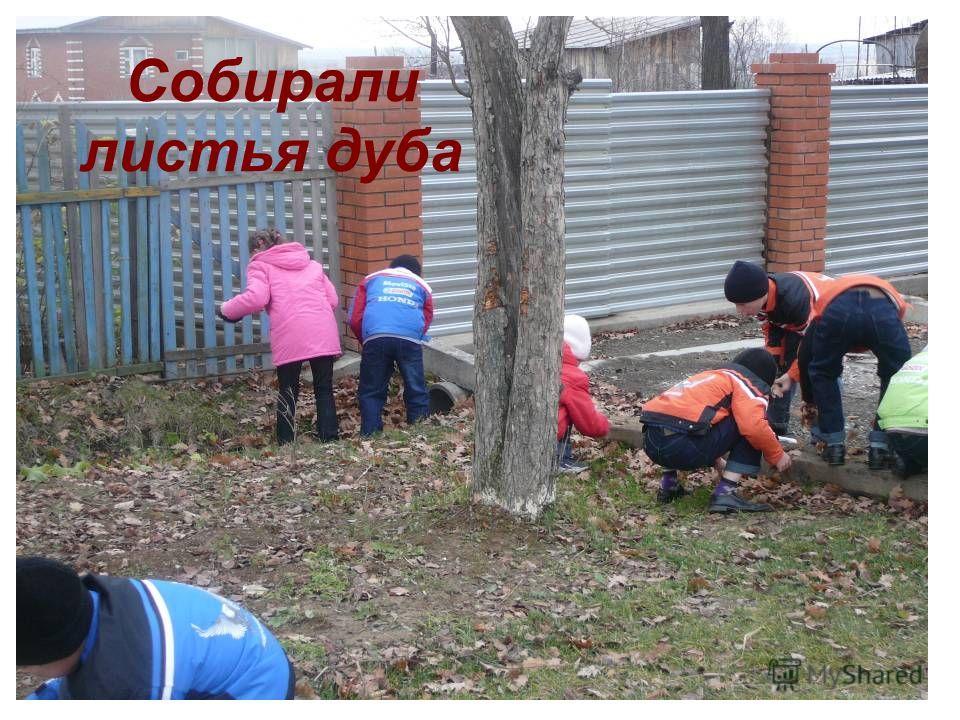 Собирали листья дуба
