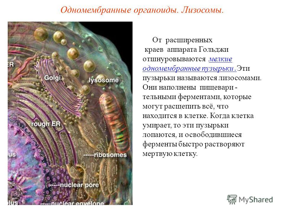 Одномембранные органоиды. Лизосомы. От расширенных краев аппарата Гольджи отшнуровываются мелкие одномембранные пузырьки.Эти пузырьки называются лизосомами. Они наполнены пищевари - тельными ферментами, которые могут расщепить всё, что находится в кл