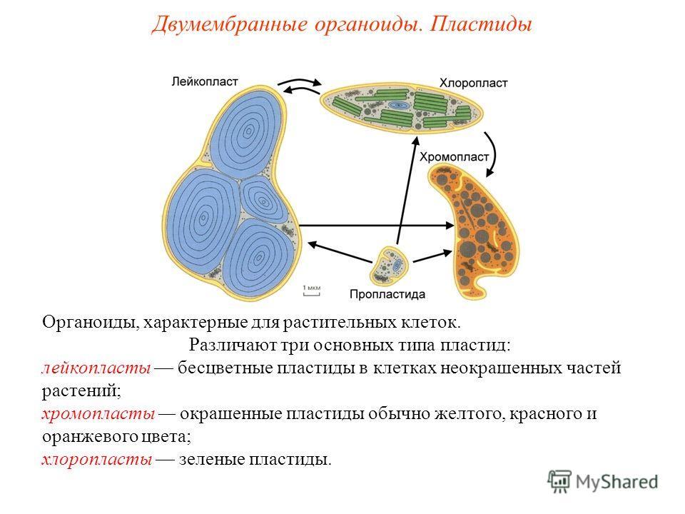 Органоиды, характерные для растительных клеток. Различают три основных типа пластид: лейкопласты бесцветные пластиды в клетках неокрашенных частей растений; хромопласты окрашенные пластиды обычно желтого, красного и оранжевого цвета; хлоропласты зеле