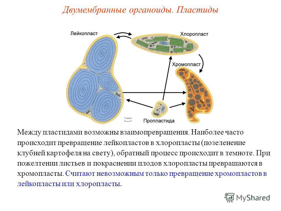 Между пластидами возможны взаимопревращения. Наиболее часто происходит превращение лейкопластов в хлоропласты (позеленение клубней картофеля на свету), обратный процесс происходит в темноте. При пожелтении листьев и покраснении плодов хлоропласты пре