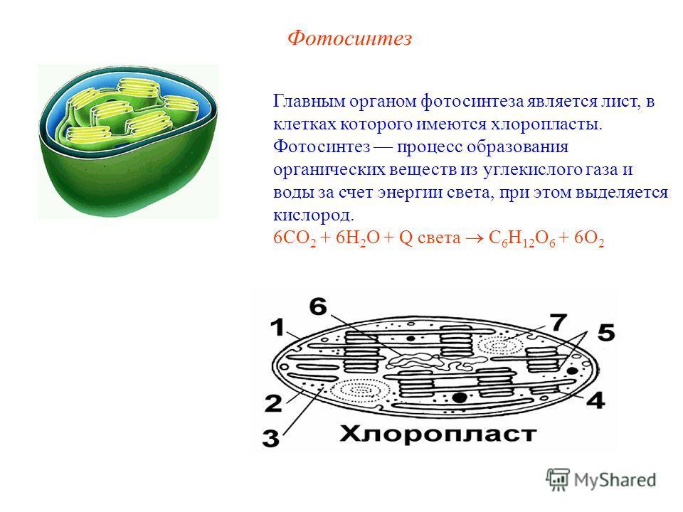 Фотосинтез Главным органом фотосинтеза является лист, в клетках которого имеются хлоропласты. Фотосинтез процесс образования органических веществ из углекислого газа и воды за счет энергии света, при этом выделяется кислород. 6СО 2 + 6Н 2 О + Q света