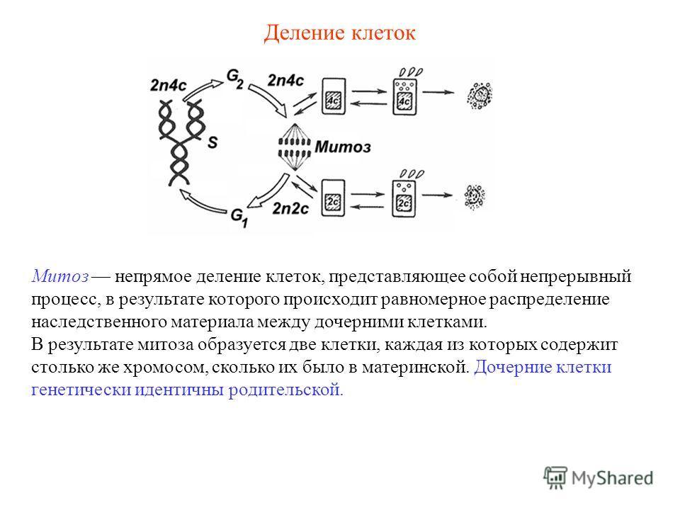 Деление клеток Митоз непрямое деление клеток, представляющее собой непрерывный процесс, в результате которого происходит равномерное распределение наследственного материала между дочерними клетками. В результате митоза образуется две клетки, каждая и