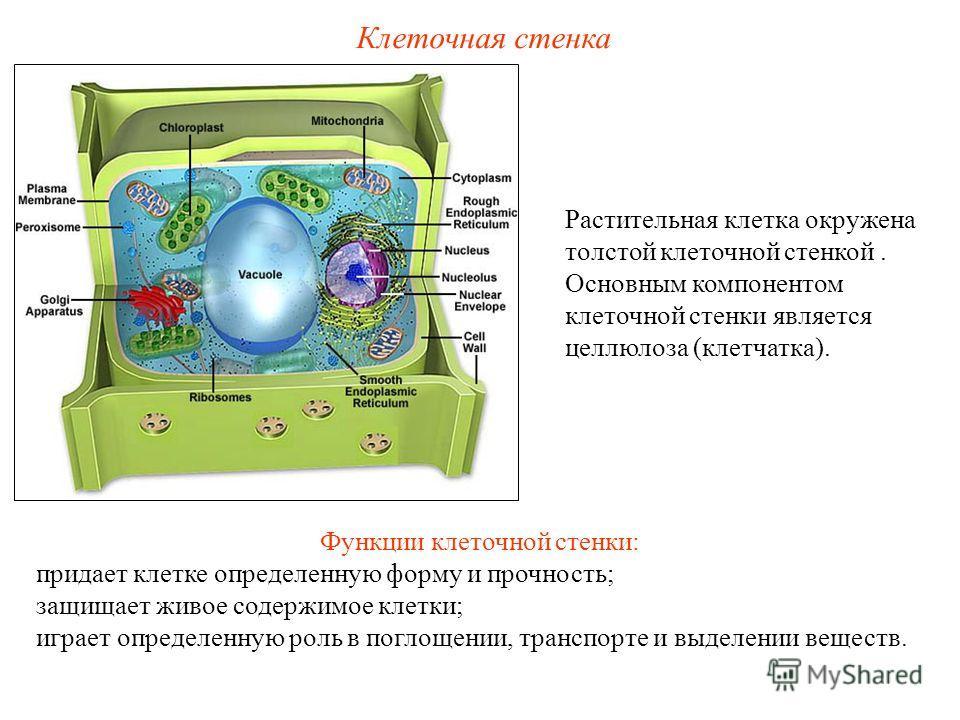 Растительная клетка окружена толстой клеточной стенкой. Основным компонентом клеточной стенки является целлюлоза (клетчатка). Клеточная стенка Функции клеточной стенки: придает клетке определенную форму и прочность; защищает живое содержимое клетки;