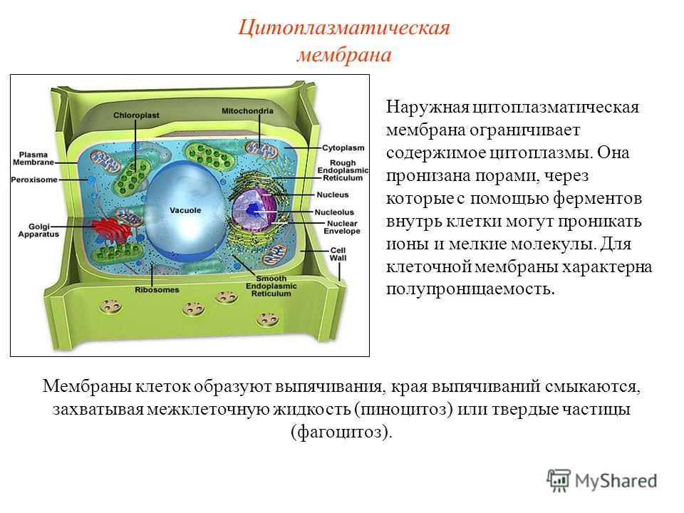 Наружная цитоплазматическая мембрана ограничивает содержимое цитоплазмы. Она пронизана порами, через которые с помощью ферментов внутрь клетки могут проникать ионы и мелкие молекулы. Для клеточной мембраны характерна полупроницаемость. Цитоплазматиче