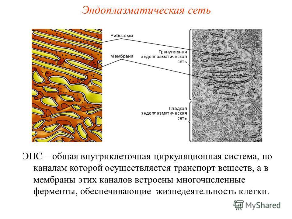 ЭПС – общая внутриклеточная циркуляционная система, по каналам которой осуществляется транспорт веществ, а в мембраны этих каналов встроены многочисленные ферменты, обеспечивающие жизнедеятельность клетки. Эндоплазматическая сеть