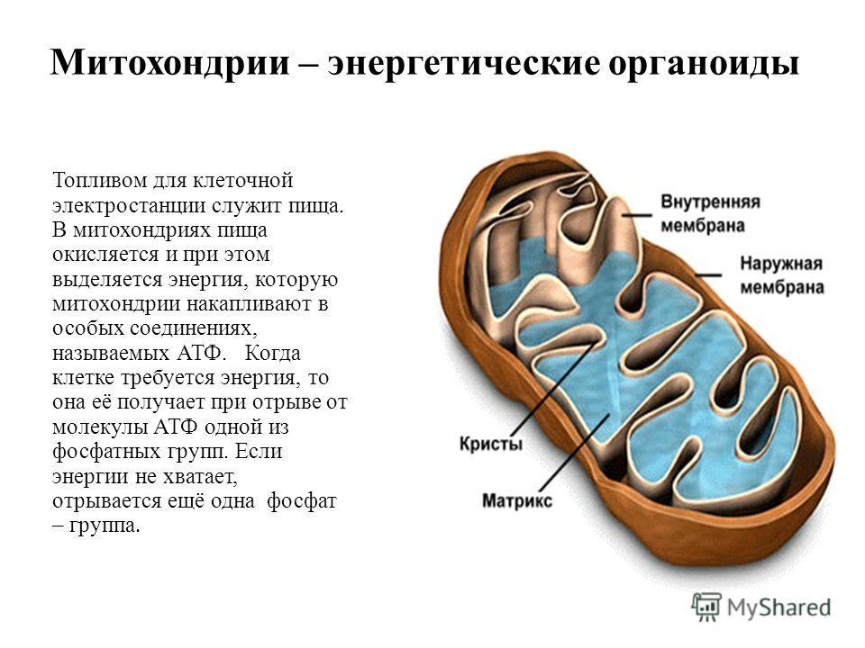 Митохондрии – энергетические органоиды Топливом для клеточной электростанции служит пища. В митохондриях пища окисляется и при этом выделяется энергия, которую митохондрии накапливают в особых соединениях, называемых АТФ. Когда клетке требуется энерг